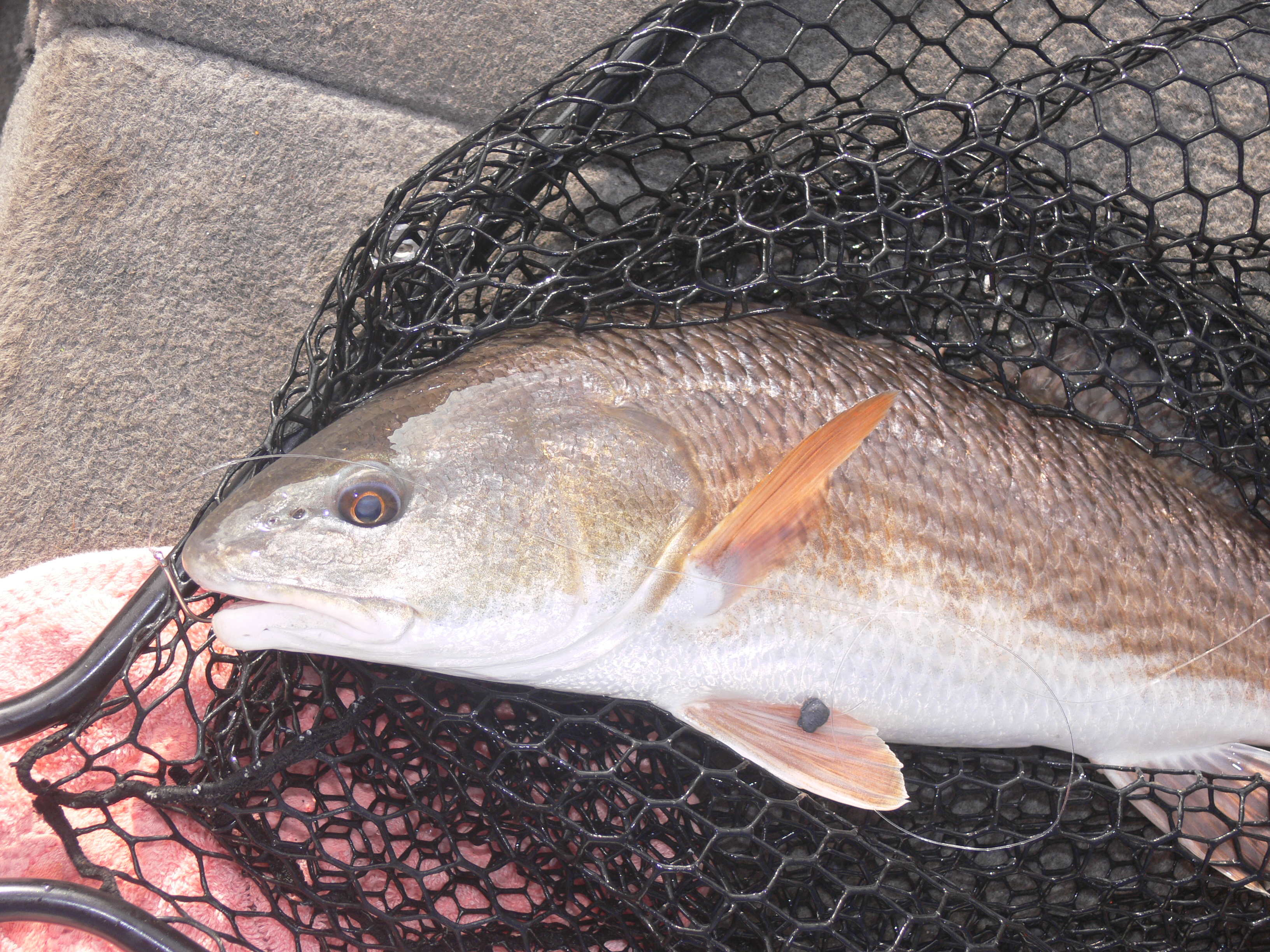redfish in net