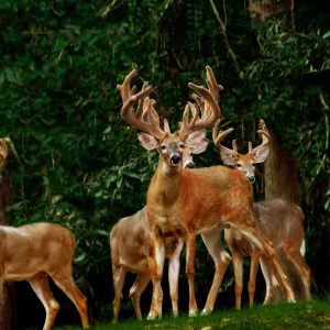 Deer Management – Taking a Census of Your Herd