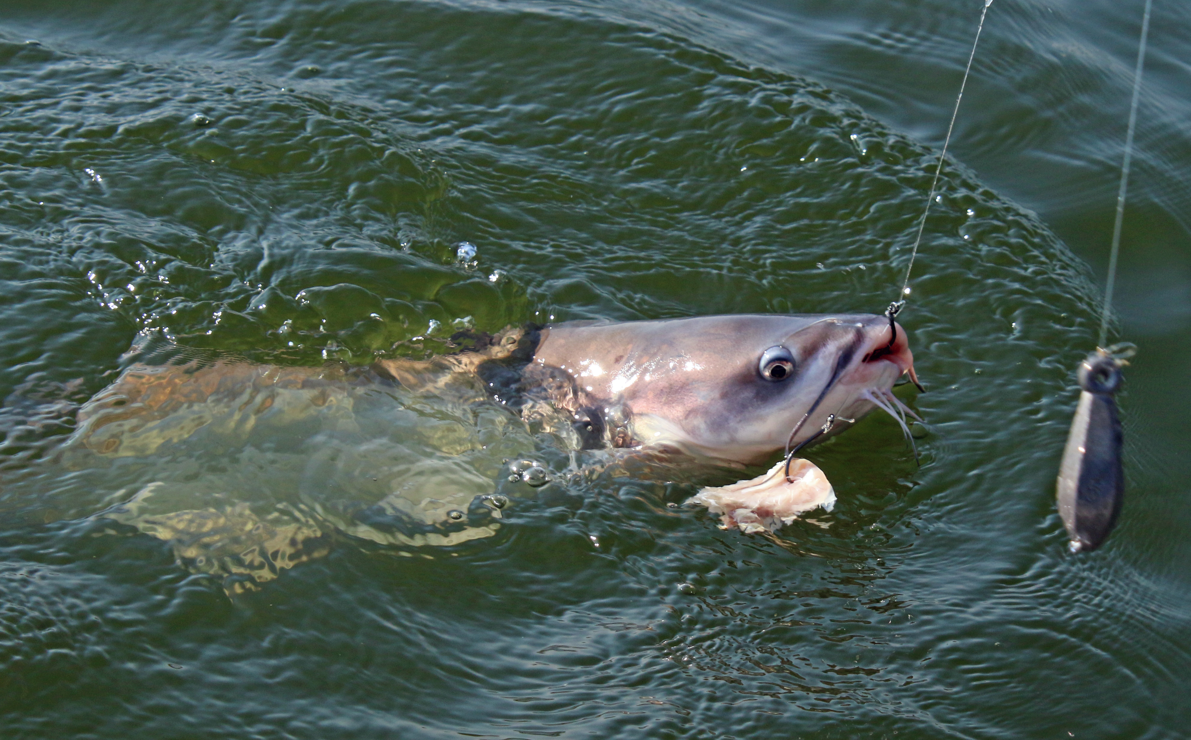 good catfish bait catfish