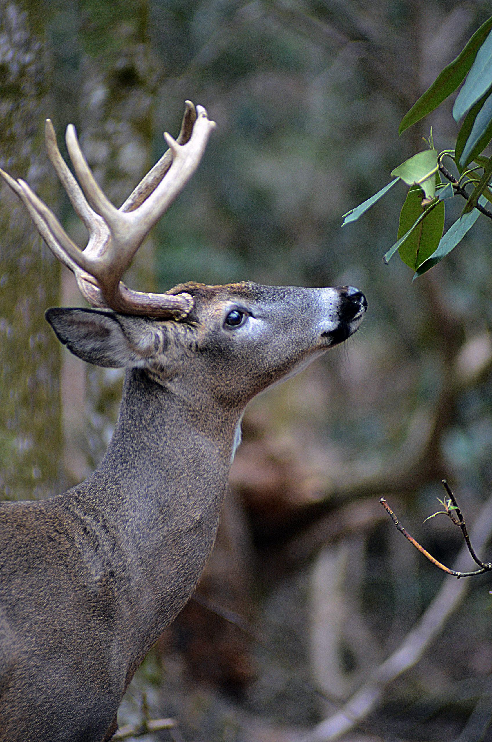 deer call rattling antlers