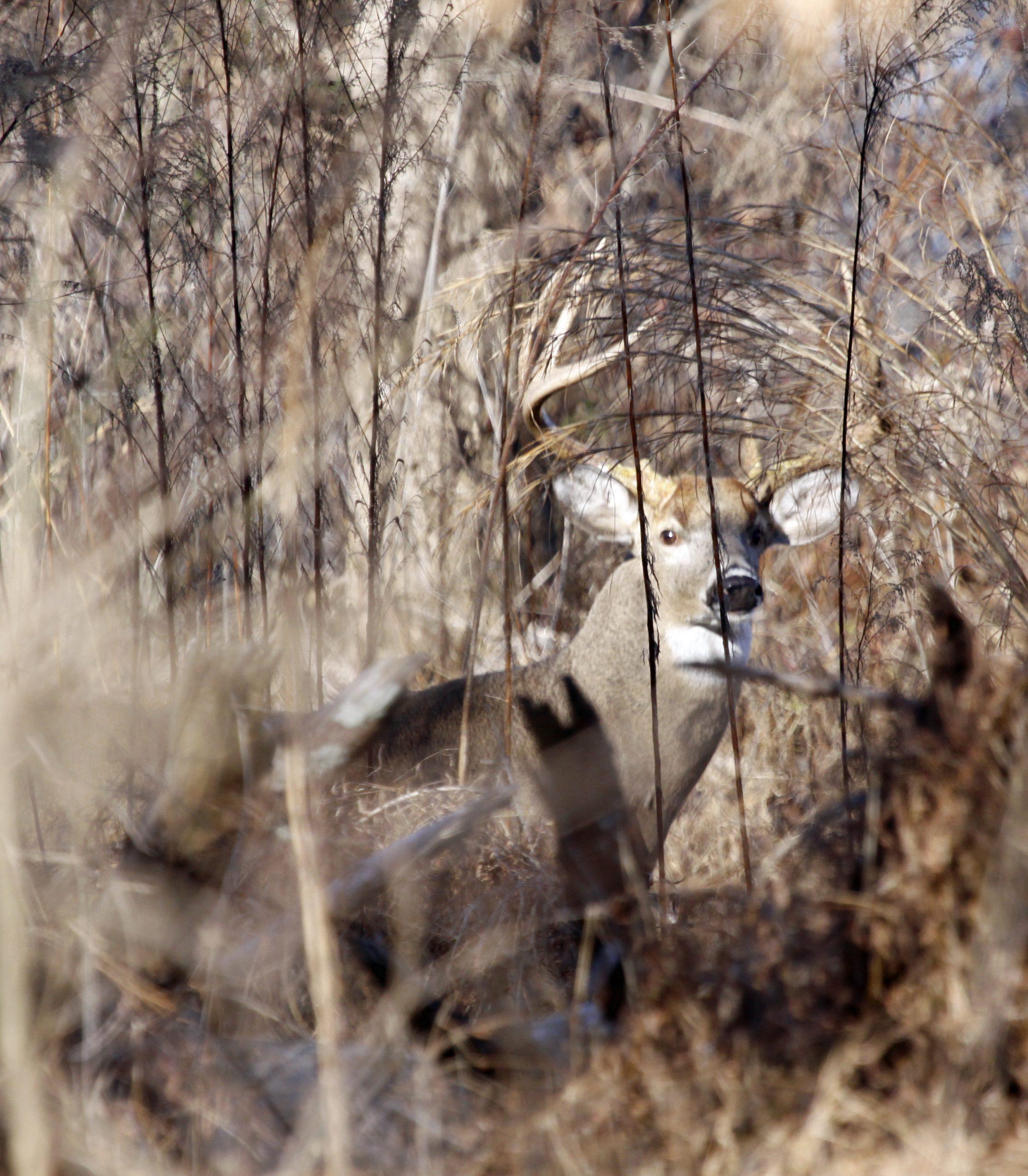 whitetail deer behavior