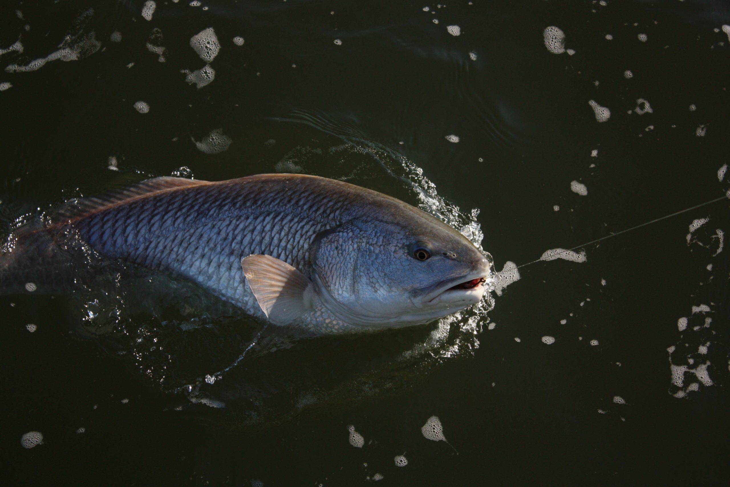 redfish season