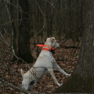 Good Squirrel Dogs: A Joy to Hunt With