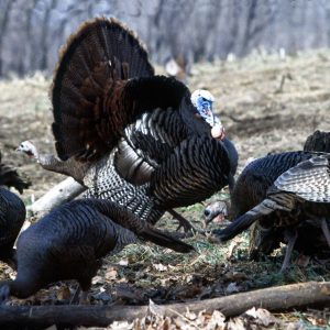 Turkey Scouting Tips From the Pros