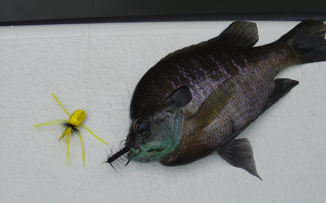 Fly Fishing Poppers for Bream