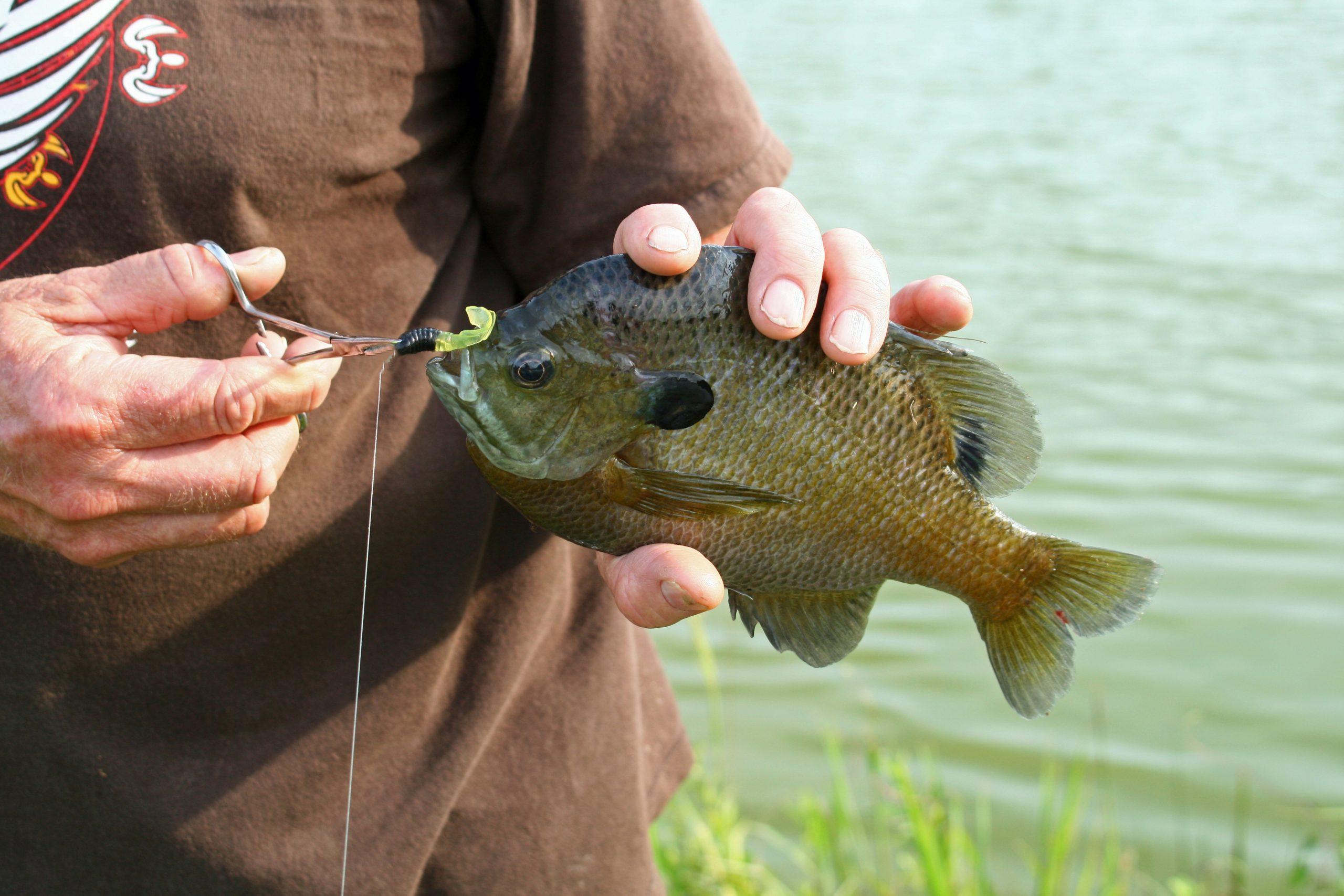 how to catch bluegill
