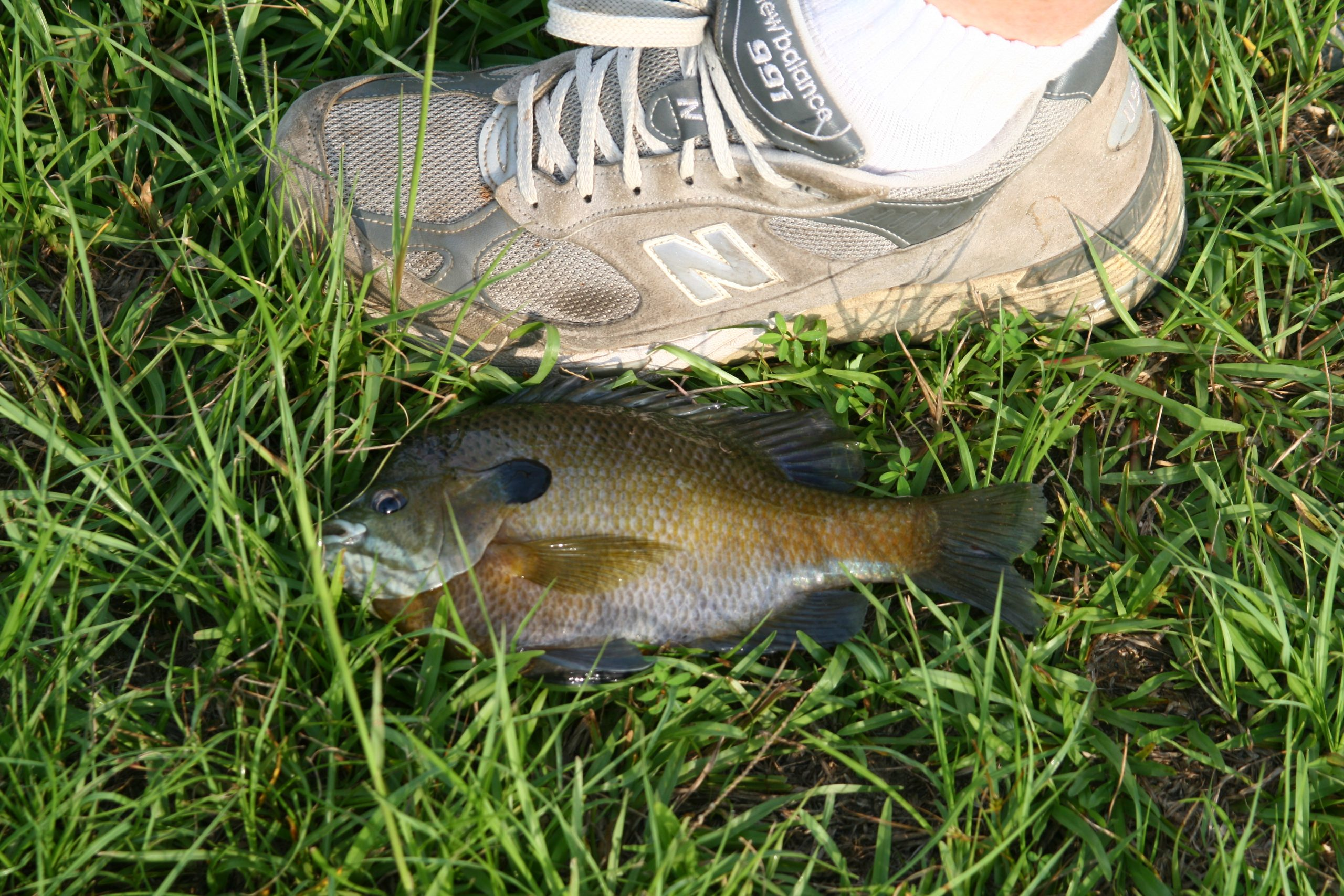 bluegill fishing rigs and tips