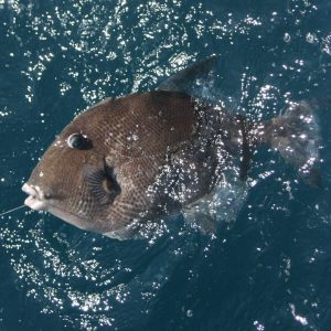 Grey Triggerfish – The Great Taste is Worth The Fight