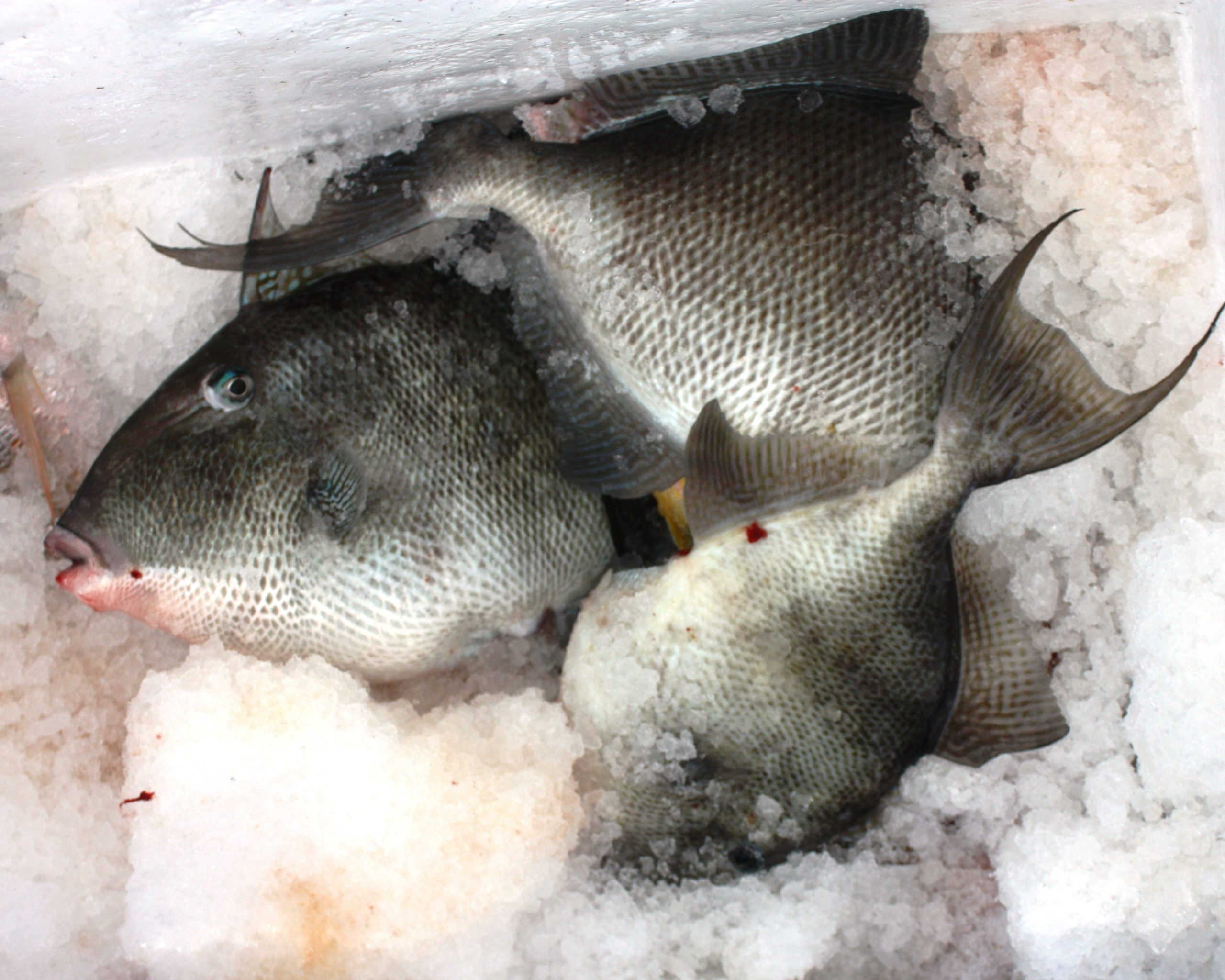 how to catch grey triggerfish