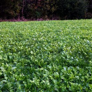 Fall Deer Food Plots for Every Budget