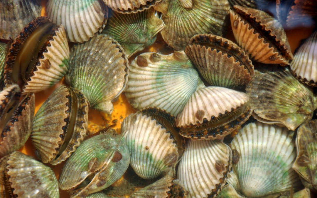 Scalloping In Florida – St. Joe Bay