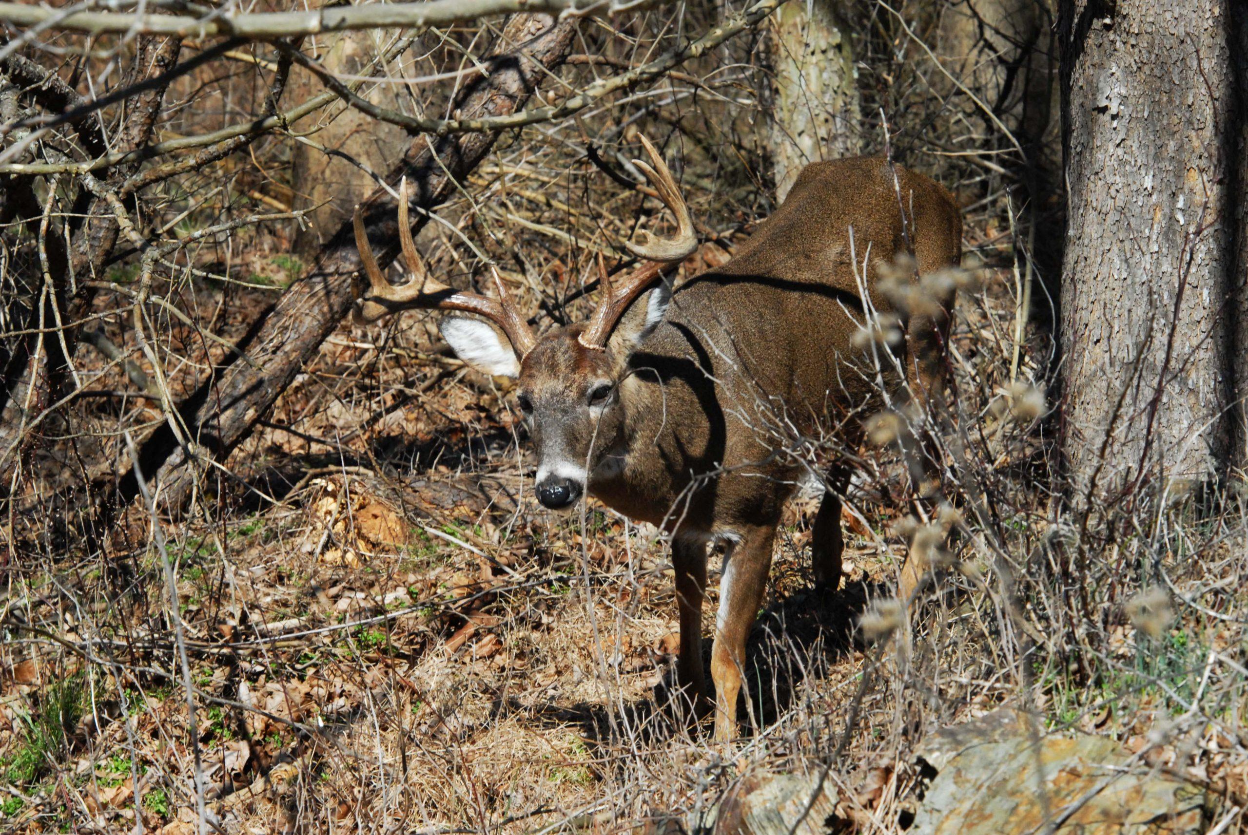 mule deer vs whitetail deer