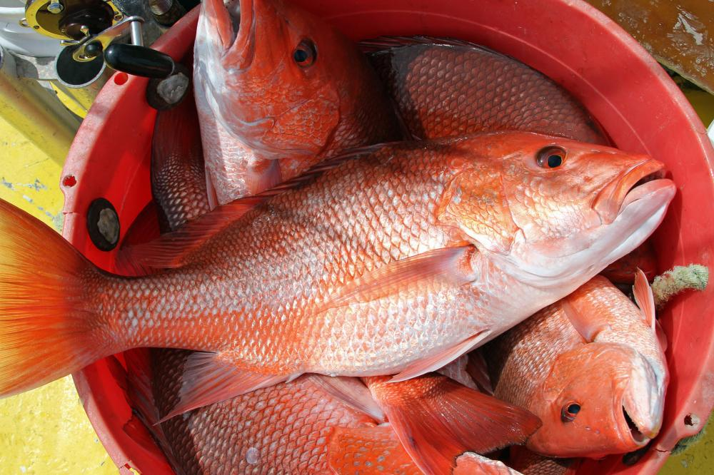 alabama Red Snapper fishing