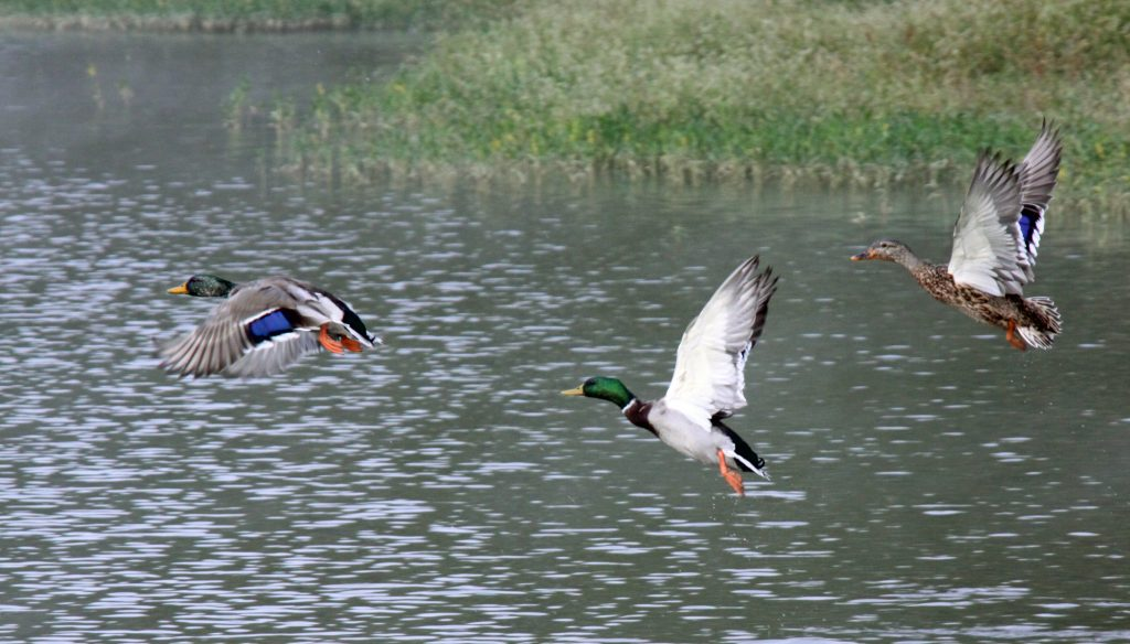 ducks flying over pond