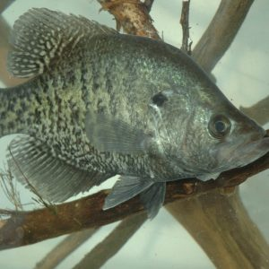 How To Find Crappie Before The Spawn – 15 Locations