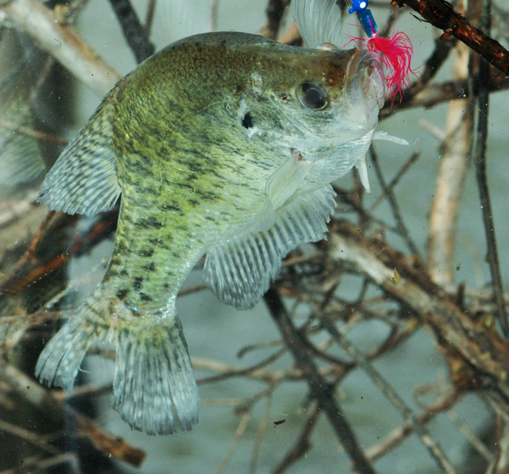 crappie in thick cover