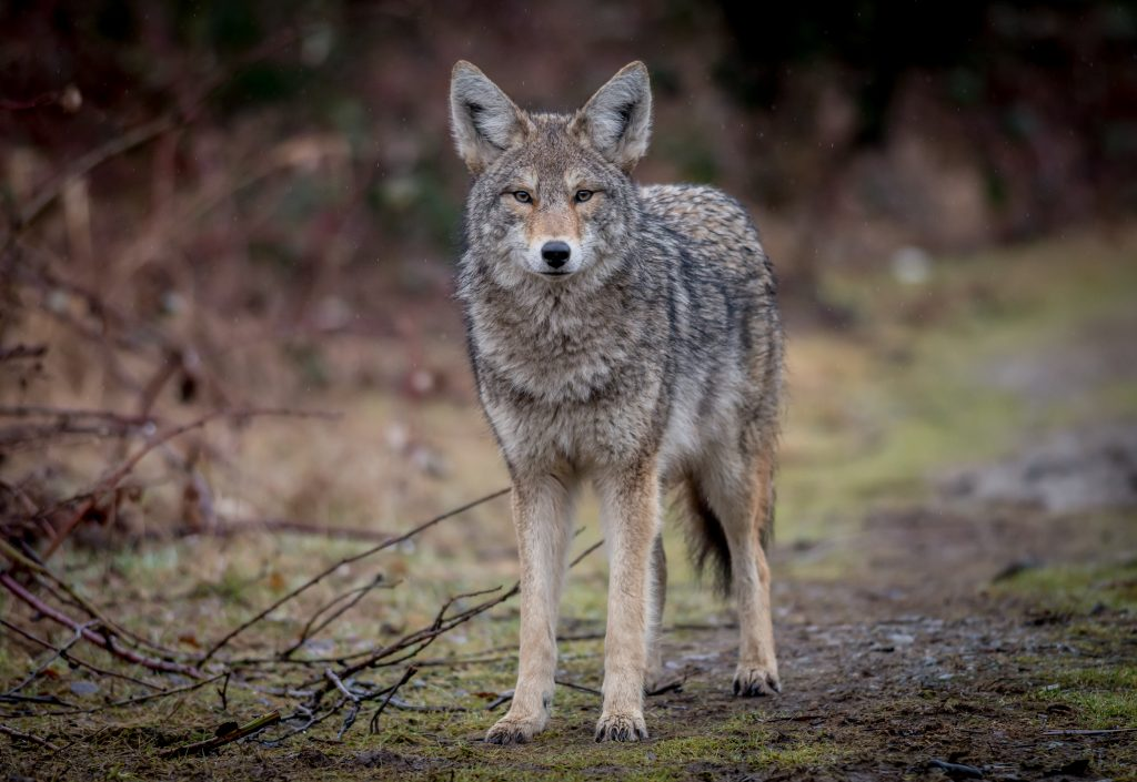 coyote hunting tips for beginners
