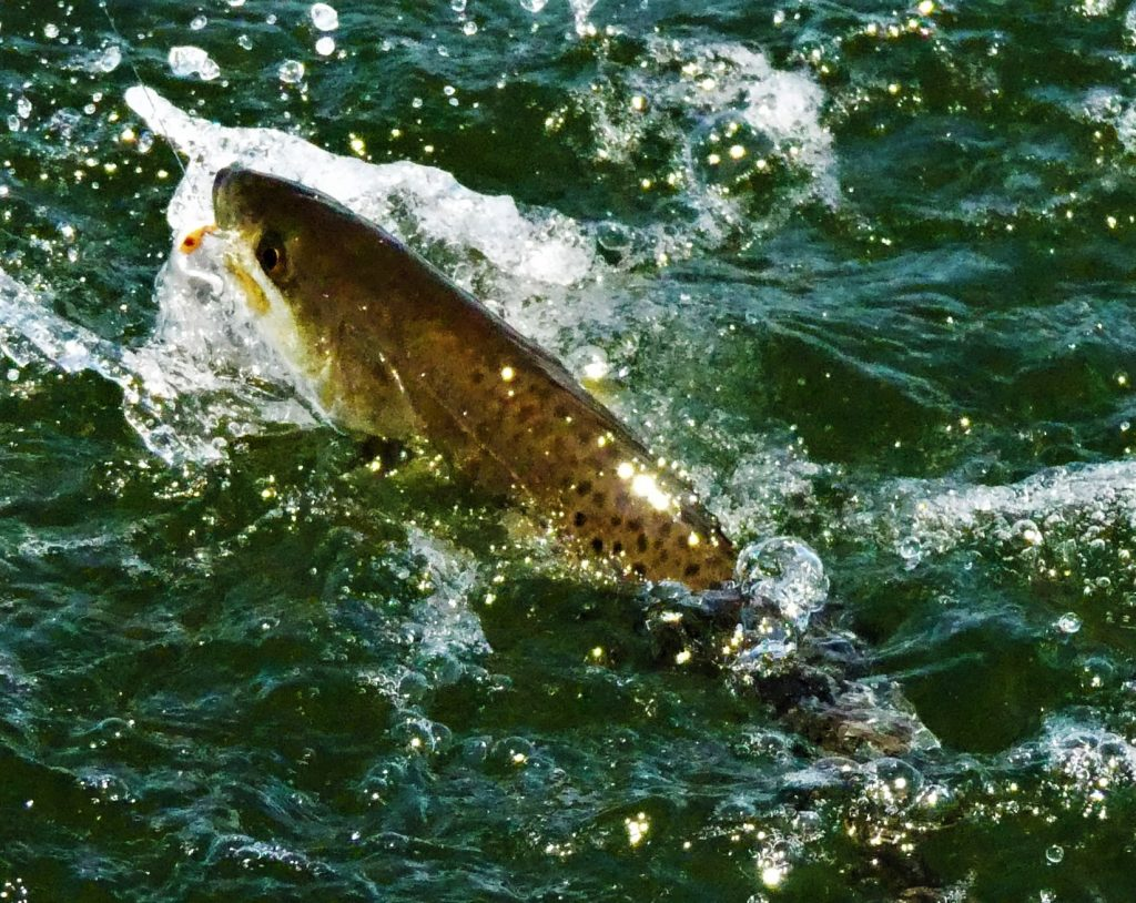 speckled trout in the water