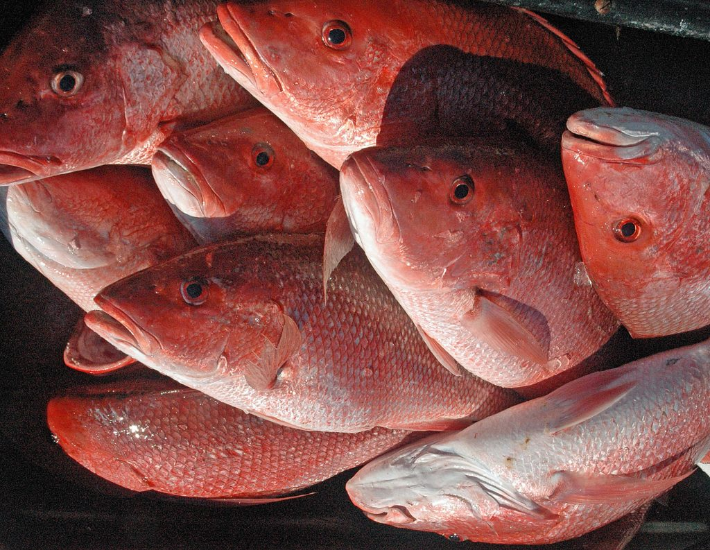 many red snapper