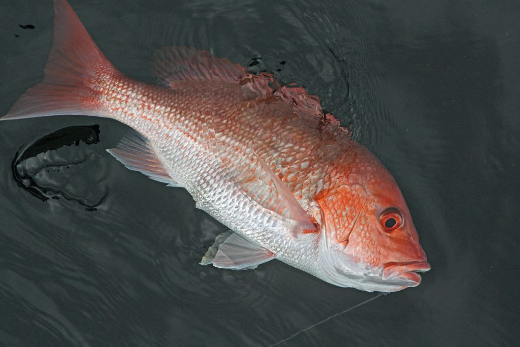 red snapper in water