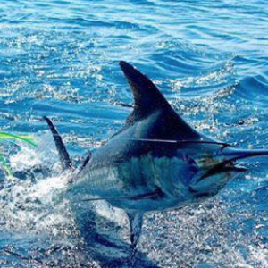 How to Catch Blue Marlin in the Gulf of Mexico
