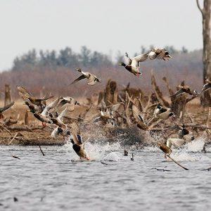 DIY Duck Habitat Management on Your Land