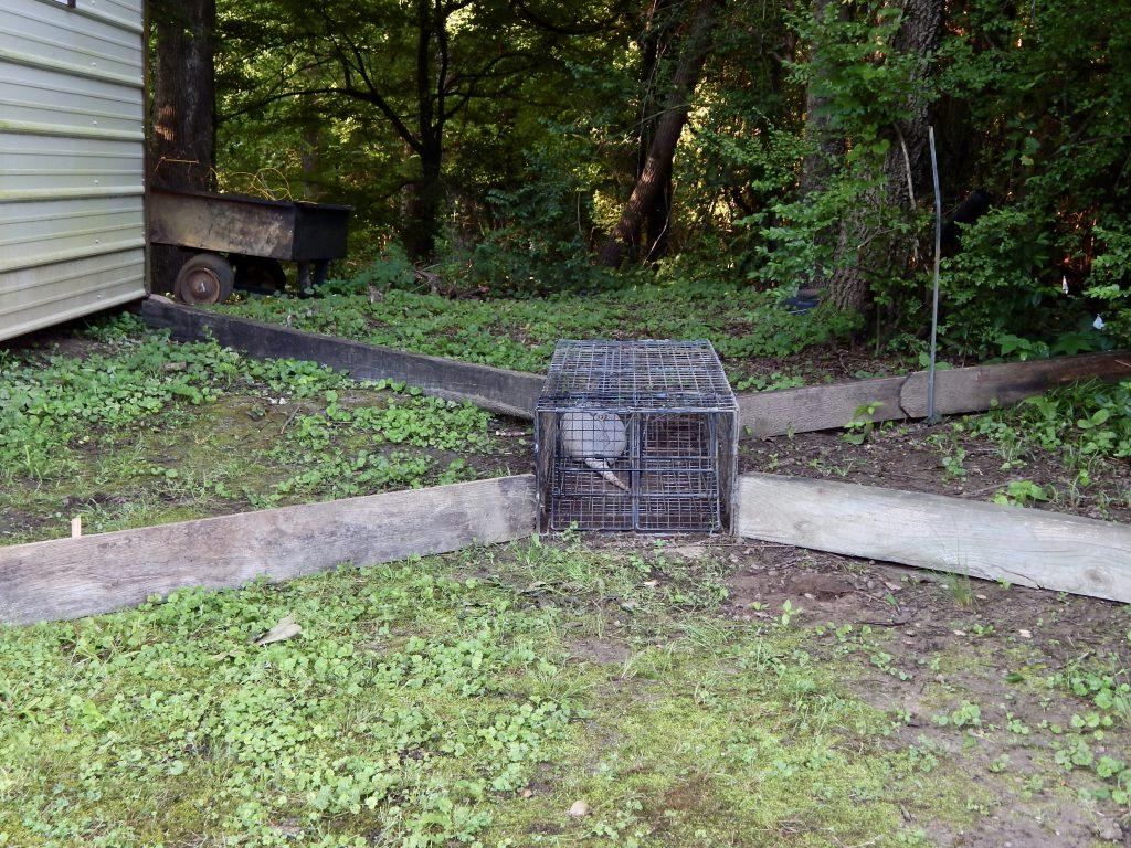 trapped armadillo
