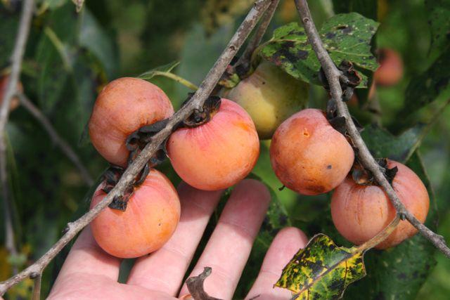 best fruit trees for deer persimmons