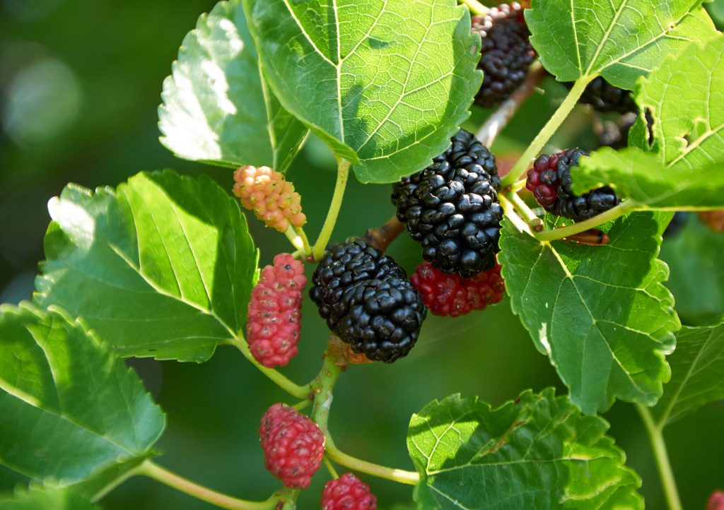 mulberry trees for deer