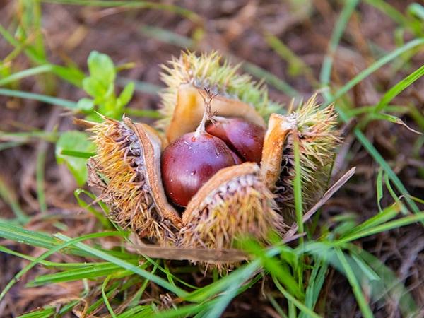 best trees for deer dunstan chestnut